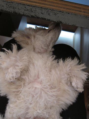 プードルフントヒュッテ東京トイプードルかわいい子犬こいぬ文京区本駒込hundehutte仔犬プードルショータイプブリーダープードルカットトイプードル画像260.jpg