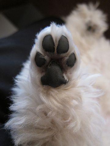 プードルフントヒュッテ東京トイプードルかわいい子犬こいぬ文京区本駒込hundehutte仔犬プードルショータイプブリーダープードルカットトイプードル画像263.jpg