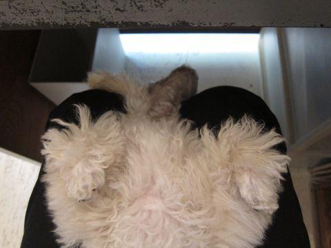 プードルフントヒュッテ東京トイプードルかわいい子犬こいぬ文京区本駒込hundehutte仔犬プードルショータイプブリーダープードルカットトイプードル画像264.jpg