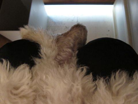 プードルフントヒュッテ東京トイプードルかわいい子犬こいぬ文京区本駒込hundehutte仔犬プードルショータイプブリーダープードルカットトイプードル画像265.jpg