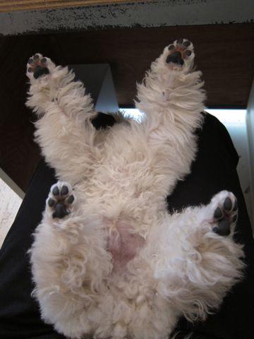 プードルフントヒュッテ東京トイプードルかわいい子犬こいぬ文京区本駒込hundehutte仔犬プードルショータイプブリーダープードルカットトイプードル画像267.jpg