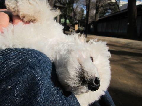 プードルフントヒュッテ東京トイプードルかわいい子犬こいぬ文京区本駒込hundehutte仔犬プードルショータイプブリーダープードルカットトイプードル画像270.jpg