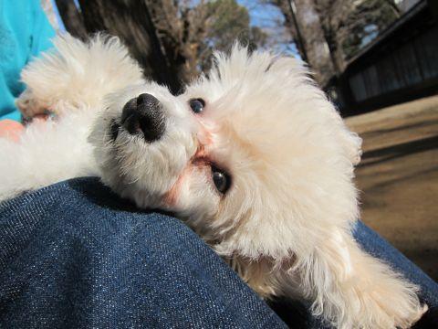 プードルフントヒュッテ東京トイプードルかわいい子犬こいぬ文京区本駒込hundehutte仔犬プードルショータイプブリーダープードルカットトイプードル画像274.jpg