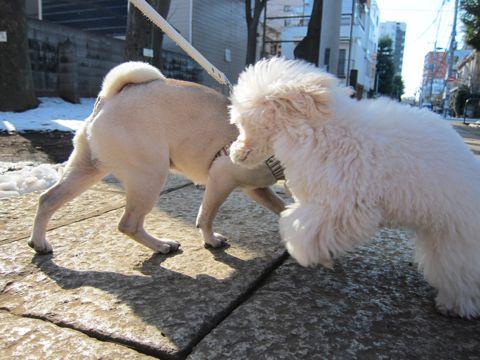 プードルフントヒュッテ東京トイプードルかわいい子犬こいぬ文京区本駒込hundehutte仔犬プードルショータイプブリーダープードルカットトイプードル画像280.jpg