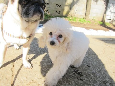 プードルフントヒュッテ東京トイプードルかわいい子犬こいぬ文京区本駒込hundehutte仔犬プードルショータイプブリーダープードルカットトイプードル画像288.jpg