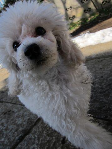 プードルフントヒュッテ東京トイプードルかわいい子犬こいぬ文京区本駒込hundehutte仔犬プードルショータイプブリーダープードルカットトイプードル画像294.jpg