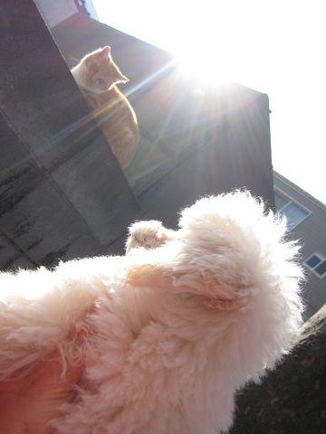 プードルフントヒュッテ東京トイプードルかわいい子犬こいぬ文京区本駒込hundehutte仔犬プードルショータイプブリーダープードルカットトイプードル画像298.jpg