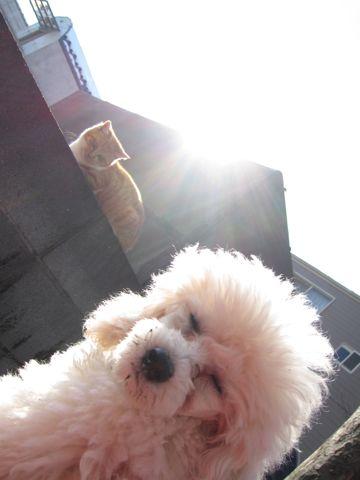 プードルフントヒュッテ東京トイプードルかわいい子犬こいぬ文京区本駒込hundehutte仔犬プードルショータイプブリーダープードルカットトイプードル画像299.jpg