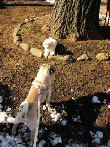 プードルフントヒュッテ東京トイプードルかわいい子犬こいぬ文京区本駒込hundehutte仔犬プードルショータイプブリーダープードルカットトイプードル画像302.jpg
