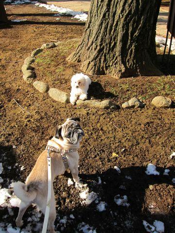 プードルフントヒュッテ東京トイプードルかわいい子犬こいぬ文京区本駒込hundehutte仔犬プードルショータイプブリーダープードルカットトイプードル画像303.jpg