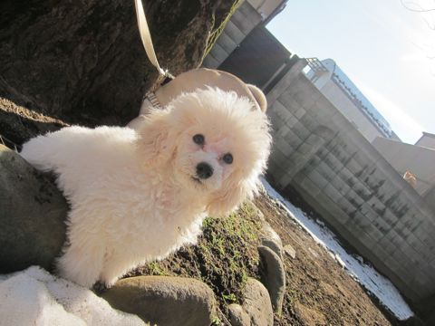 プードルフントヒュッテ東京トイプードルかわいい子犬こいぬ文京区本駒込hundehutte仔犬プードルショータイプブリーダープードルカットトイプードル画像304.jpg