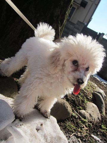 プードルフントヒュッテ東京トイプードルかわいい子犬こいぬ文京区本駒込hundehutte仔犬プードルショータイプブリーダープードルカットトイプードル画像305.jpg