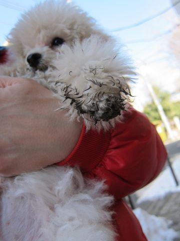 プードルフントヒュッテ東京トイプードルかわいい子犬こいぬ文京区本駒込hundehutte仔犬プードルショータイプブリーダープードルカットトイプードル画像306.jpg