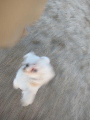 プードルフントヒュッテ東京トイプードルかわいい子犬こいぬ文京区本駒込hundehutte仔犬プードルショータイプブリーダープードルカットトイプードル画像317.jpg