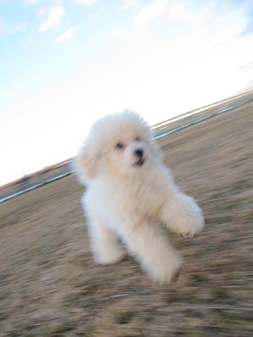 プードルフントヒュッテ東京トイプードルかわいい子犬こいぬ文京区本駒込hundehutte仔犬プードルショータイプブリーダープードルカットトイプードル画像318.jpg