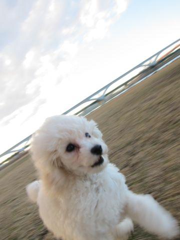 プードルフントヒュッテ東京トイプードルかわいい子犬こいぬ文京区本駒込hundehutte仔犬プードルショータイプブリーダープードルカットトイプードル画像319.jpg