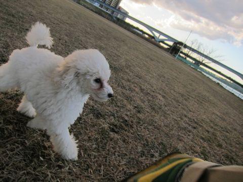 プードルフントヒュッテ東京トイプードルかわいい子犬こいぬ文京区本駒込hundehutte仔犬プードルショータイプブリーダープードルカットトイプードル画像321.jpg