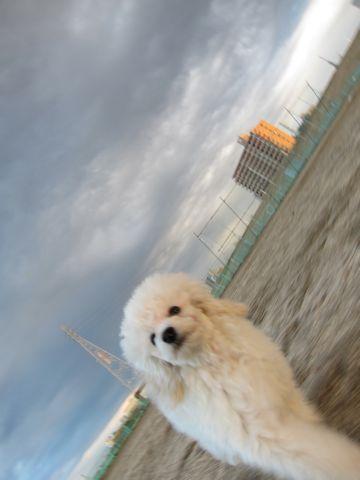 プードルフントヒュッテ東京トイプードルかわいい子犬こいぬ文京区本駒込hundehutte仔犬プードルショータイプブリーダープードルカットトイプードル画像323.jpg