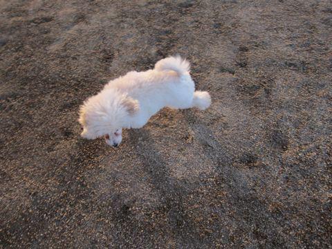 プードルフントヒュッテ東京トイプードルかわいい子犬こいぬ文京区本駒込hundehutte仔犬プードルショータイプブリーダープードルカットトイプードル画像326.jpg