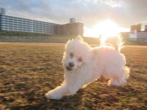 プードルフントヒュッテ東京トイプードルかわいい子犬こいぬ文京区本駒込hundehutte仔犬プードルショータイプブリーダープードルカットトイプードル画像333.jpg