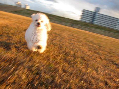 プードルフントヒュッテ東京トイプードルかわいい子犬こいぬ文京区本駒込hundehutte仔犬プードルショータイプブリーダープードルカットトイプードル画像334.jpg