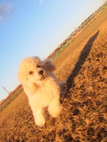 プードルフントヒュッテ東京トイプードルかわいい子犬こいぬ文京区本駒込hundehutte仔犬プードルショータイプブリーダープードルカットトイプードル画像336.jpg