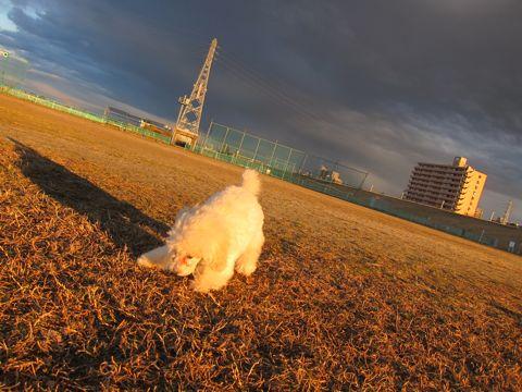 プードルフントヒュッテ東京トイプードルかわいい子犬こいぬ文京区本駒込hundehutte仔犬プードルショータイプブリーダープードルカットトイプードル画像337.jpg