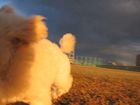プードルフントヒュッテ東京トイプードルかわいい子犬こいぬ文京区本駒込hundehutte仔犬プードルショータイプブリーダープードルカットトイプードル画像338.jpg