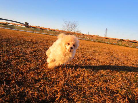 プードルフントヒュッテ東京トイプードルかわいい子犬こいぬ文京区本駒込hundehutte仔犬プードルショータイプブリーダープードルカットトイプードル画像339.jpg