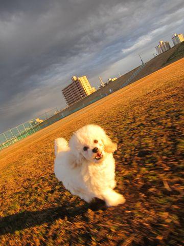 プードルフントヒュッテ東京トイプードルかわいい子犬こいぬ文京区本駒込hundehutte仔犬プードルショータイプブリーダープードルカットトイプードル画像340.jpg