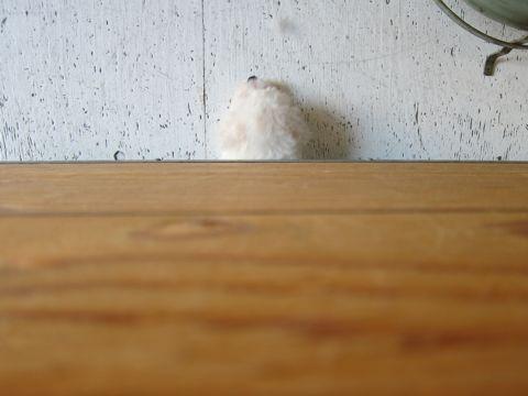 ビションフリーゼフントヒュッテ東京トリミングビションフリーゼブリーダー子犬かわいいビションこいぬ都内文京区本駒込ビションメスおんなのこhundehutte43.jpg
