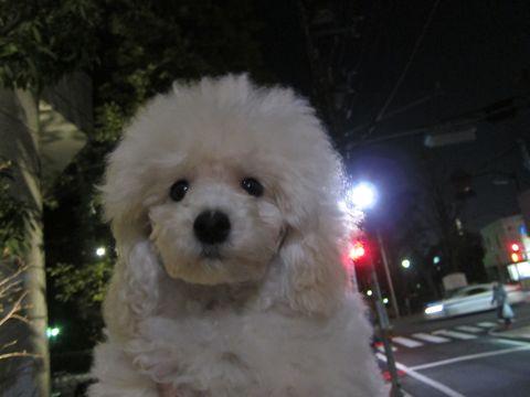 プードルフントヒュッテ東京トイプードルかわいい子犬こいぬ文京区本駒込hundehutte仔犬プードルショータイプブリーダープードルカットトイプードル画像348.jpg
