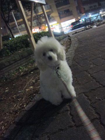 プードルフントヒュッテ東京トイプードルかわいい子犬こいぬ文京区本駒込hundehutte仔犬プードルショータイプブリーダープードルカットトイプードル画像350.jpg
