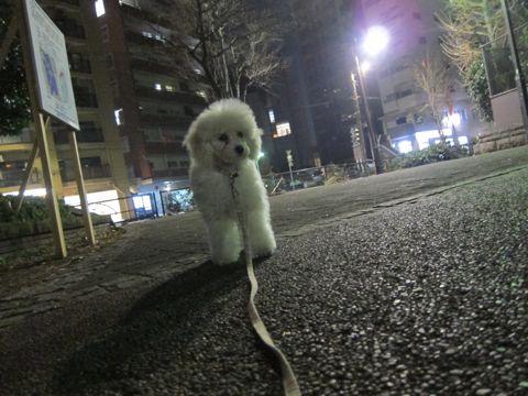 プードルフントヒュッテ東京トイプードルかわいい子犬こいぬ文京区本駒込hundehutte仔犬プードルショータイプブリーダープードルカットトイプードル画像352.jpg
