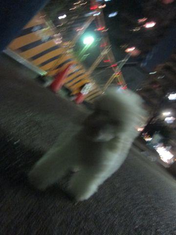 プードルフントヒュッテ東京トイプードルかわいい子犬こいぬ文京区本駒込hundehutte仔犬プードルショータイプブリーダープードルカットトイプードル画像354.jpg