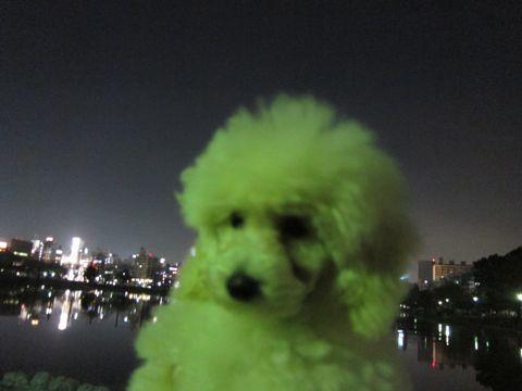 プードルフントヒュッテ東京トイプードルかわいい子犬こいぬ文京区本駒込hundehutte仔犬プードルショータイプブリーダープードルカットトイプードル画像356.jpg