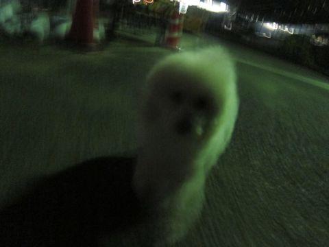 プードルフントヒュッテ東京トイプードルかわいい子犬こいぬ文京区本駒込hundehutte仔犬プードルショータイプブリーダープードルカットトイプードル画像358.jpg