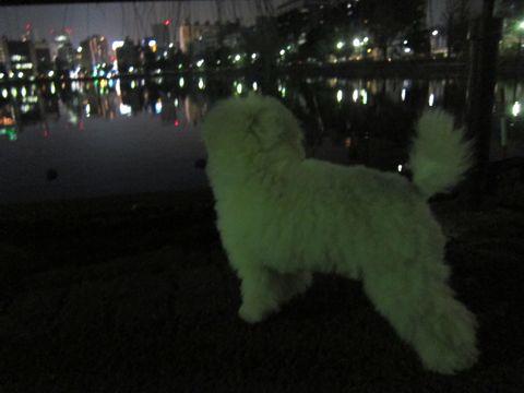 プードルフントヒュッテ東京トイプードルかわいい子犬こいぬ文京区本駒込hundehutte仔犬プードルショータイプブリーダープードルカットトイプードル画像360.jpg