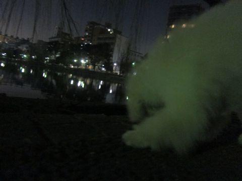 プードルフントヒュッテ東京トイプードルかわいい子犬こいぬ文京区本駒込hundehutte仔犬プードルショータイプブリーダープードルカットトイプードル画像361.jpg