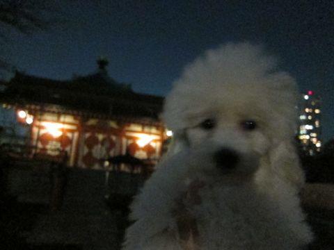 プードルフントヒュッテ東京トイプードルかわいい子犬こいぬ文京区本駒込hundehutte仔犬プードルショータイプブリーダープードルカットトイプードル画像368.jpg