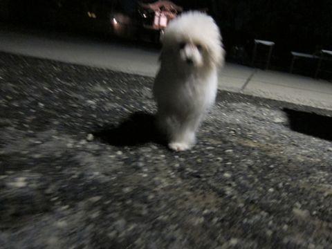 プードルフントヒュッテ東京トイプードルかわいい子犬こいぬ文京区本駒込hundehutte仔犬プードルショータイプブリーダープードルカットトイプードル画像369.jpg