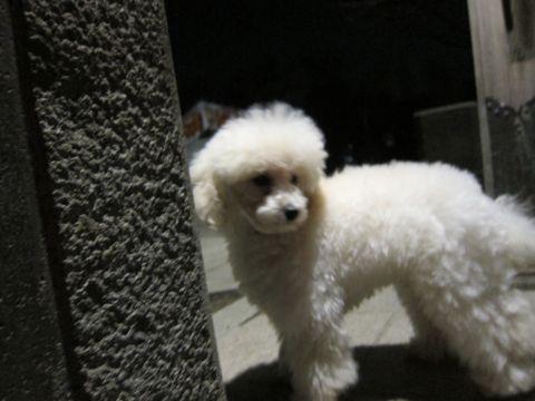 プードルフントヒュッテ東京トイプードルかわいい子犬こいぬ文京区本駒込hundehutte仔犬プードルショータイプブリーダープードルカットトイプードル画像374.jpg
