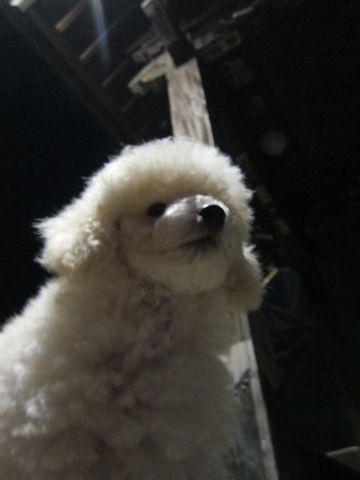 プードルフントヒュッテ東京トイプードルかわいい子犬こいぬ文京区本駒込hundehutte仔犬プードルショータイプブリーダープードルカットトイプードル画像375.jpg