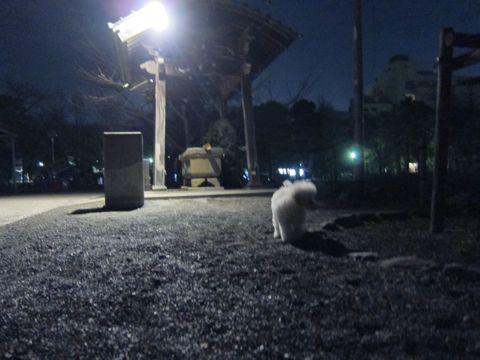 プードルフントヒュッテ東京トイプードルかわいい子犬こいぬ文京区本駒込hundehutte仔犬プードルショータイプブリーダープードルカットトイプードル画像378.jpg