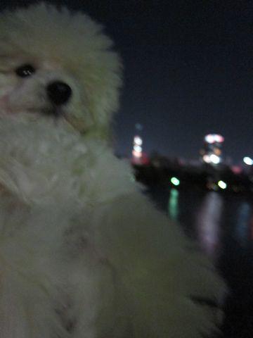 プードルフントヒュッテ東京トイプードルかわいい子犬こいぬ文京区本駒込hundehutte仔犬プードルショータイプブリーダープードルカットトイプードル画像384.jpg
