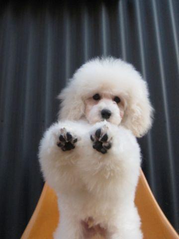 プードルフントヒュッテ東京トイプードルかわいい子犬こいぬ文京区本駒込hundehutte仔犬プードルショータイプブリーダープードルカットトイプードル画像389.jpg