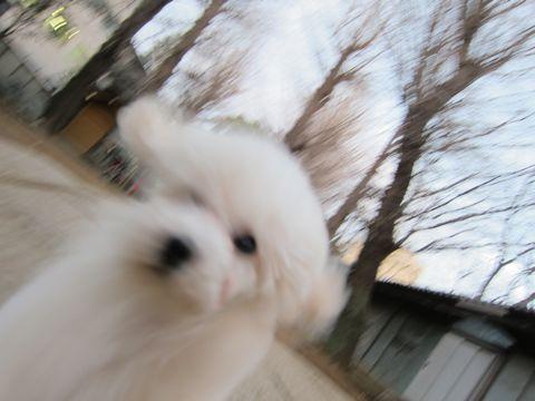 ビションフリーゼフントヒュッテ東京トリミングビションフリーゼブリーダー子犬かわいいビションこいぬ都内文京区本駒込ビションメスおんなのこhundehutte66.jpg