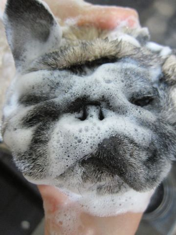 パグトリミング文京区フントヒュッテ東京ナノオゾンペットシャワー使用トリミングサロンパグシャンプー犬あずかりペットホテル関東都内駒込白山池袋上野3.jpg