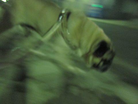 パグトリミング文京区フントヒュッテ東京ナノオゾンペットシャワー使用トリミングサロンパグシャンプー犬あずかりペットホテル関東都内駒込白山池袋上野8.jpg