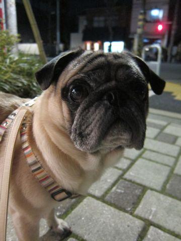パグトリミング文京区フントヒュッテ東京ナノオゾンペットシャワー使用トリミングサロンパグシャンプー犬あずかりペットホテル関東都内駒込白山池袋上野10.jpg
